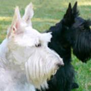 Scottish Terrier Dogs Art Print by Jennie Marie Schell