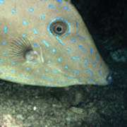 Scrawled Filefish Profile, Alutera Art Print