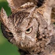 Screech Owl In Flight Art Print