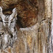 Screech Owl In Hole Art Print