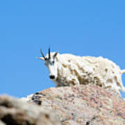 Scruffy Mountain Goat On The Mount Massive Summit Art Print