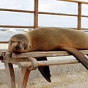sea lion on a bench in Puerto Ayora, Santa Cruz Island, Galapagos Art Print