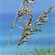 Sea Oats Gulf Of Mexico Print by Thomas R Fletcher