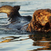 Sea Otter A Bit Embarrassed Art Print