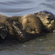 Sea Otter Mother With Pup Monterey Bay Art Print