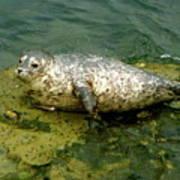 Sea Pup Art Print