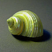 Sea Shell Turbo Marmoratus Art Print