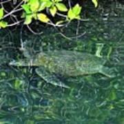 Sea Turtle In Galapagos Lagoon Art Print