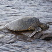 Sea Turtle On Rock Art Print