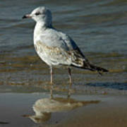Seagull And His Reflection Art Print