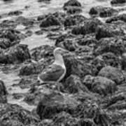 Seagull And Rocks Bw Art Print