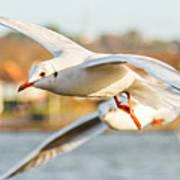 Seagulls In The Air Art Print