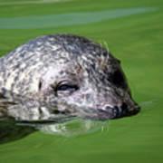 Seal Swimming Portrait Wildlife Scene Art Print