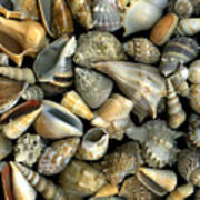 Seashell Medley Art Print