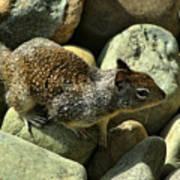 Seaside Ground Squirrel Art Print