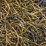 Seaweed On The Coast Of Iceland Art Print