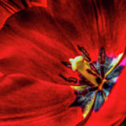 Secret Of The Red Tulip Art Print