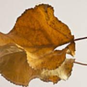 Seeing Double Autumn Leaf  Art Print