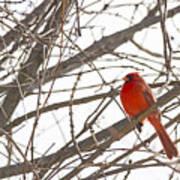 Seeing Red - Northern Cardinal - Cardinalis Cardinalis Art Print