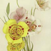 Sego Lily   Calochortus Art Print