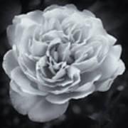 Selenium White Rose Art Print