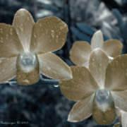 Sepia Orchid Art Print