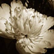 Sepia Peony Flower Art Art Print