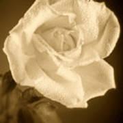 Sepia Rose With Rain Drops Art Print by M K  Miller