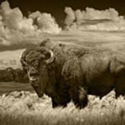 Sepia Toned Photograph Of An American Buffalo Art Print