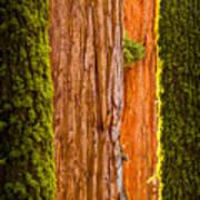 Sequoia Abstract Art Print