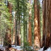 Sequoia Forest Art Print