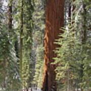 Sequoia General Sherman Art Print