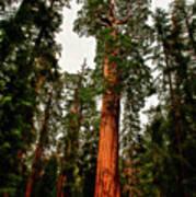 Sequoia In Kings Canyon Art Print