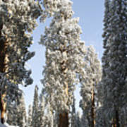 Sequoia National Park 4 Art Print