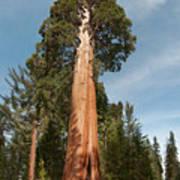 Sequoia Trees Art Print