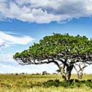 Serengeti Acacia Art Print