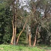 Seward Park Trees Art Print