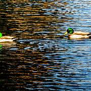 Shade And Sunlight - Mallard Ducks Art Print