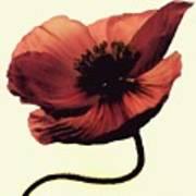 Shadow Poppy Art Print