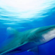 Shark In Rapid Motion Art Print