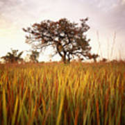 Shea Tree In Field, Near Lira, Uganda Art Print