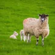 Sheep And Lambs Art Print