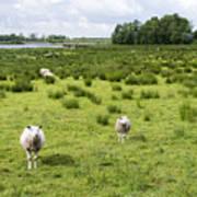 Sheep Animals Art Print