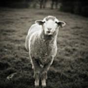 Sheep Chewing Cud Art Print