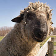Sheep Face 2 Art Print