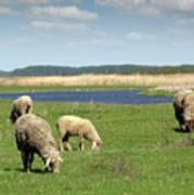 Sheep On Pasture Nature Farm Scene Art Print