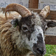 Sheep One Art Print