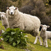 Sheep With Twin Lambs Stony Bay Art Print by Colin Monteath