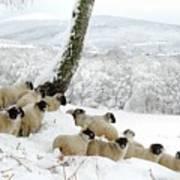 Sheltering Flock Art Print