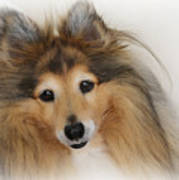 Sheltie Dog - A Sweet-natured Smart Pet Art Print
